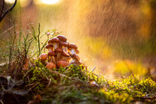 Armillaria Mushrooms Of Honey Agaric In A Sunny Forest In The Rain. Honey Fungus Are Regarded In Ukraine, Russia, Poland, Germany And Other European Countries As One Of The Best Wild Mushrooms.