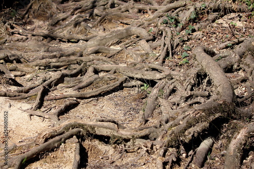 Fotografía  Multiple visible exposed tree roots growing in various directions covered with d