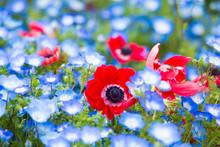 春に咲く青いネフォフィラと赤いアネモネ