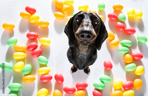 Poster Crazy dog easter bunny dog