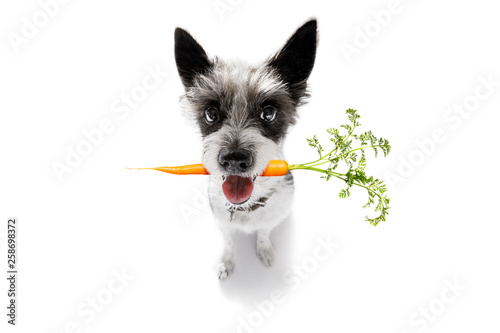 Foto op Plexiglas Crazy dog dog with healthy vegan carrot in mouth