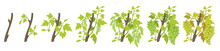 Growth Stages Of Vine Grape Plant. Vineyard Planting Phases. Vector Illustration. Vitis Vinifera Harvested. Ripening Period. Vine Life Cycle. Grapes On White Background.