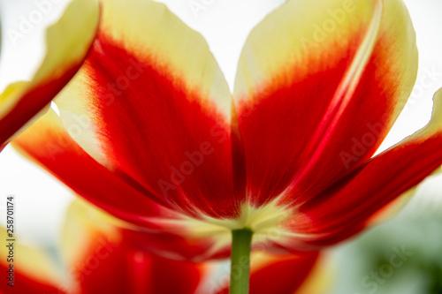 Photo  opened tulip flower