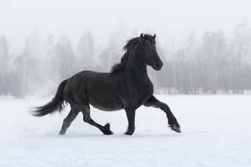 Black friesian horse with the mane flutters on wind running on the snow-covered field in the winter background