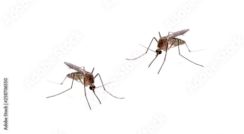 Mosquito isolated on white background Canvas Print