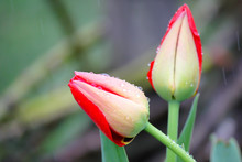 Two Red Tulips In The Rain In A Park On A Summer Day