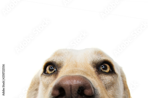 CLOSE-UP FUNNY LABRADOR DOG EYES. ISOLATED STUDIO SHOT ON WHITE WHITEBACKGROUND.