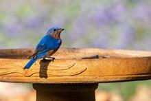 Blue Bird On A Bird Bath