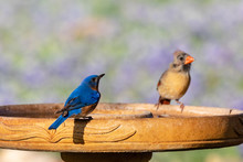 Eastern Bluebird And Cardinal ...