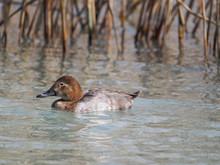 Female Of Pochard Duck (Aythya...