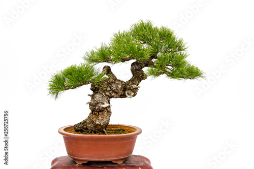 Foto auf Leinwand Bonsai Evergreen bonsai on white