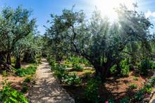 The Garden Of Gethsemane In Holy Jerusalem