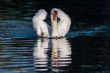 Stolzer Weißer Höckerschwan Schwimmt Majestätisch Mit Bugwelle Auf Brautschau Auf Einem See