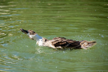 Brown And White Duck Preening And Washing Feathers