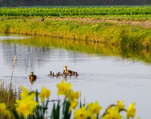 Duck Family With Many Small Ducks Swimming In The Canal With Yellow Daffodils On Foreground