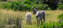 Small White Donkey And Adult D...