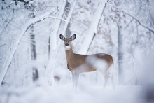 A White Tail Deer Look At The ...