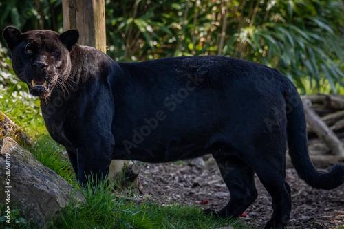 Poster Puma Black Jaguar