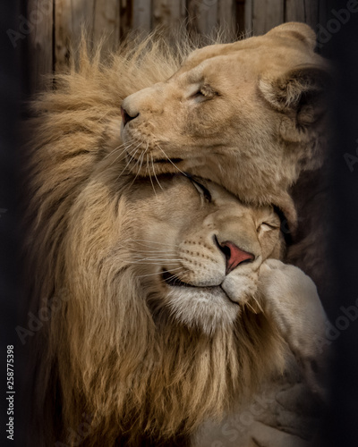Canvas Print Couple of lions are sharing their spring vibes