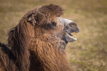 A Camel Shows Its Teeth While ...