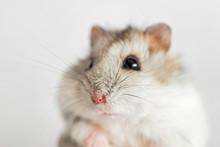 Hamster Face Close-up On A Lig...
