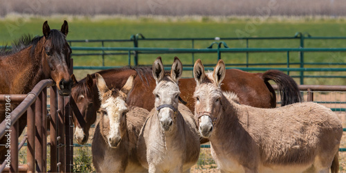 Fotografia  Trio of donkeys looking at the camera