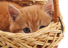 Little Gray Kitten In The Basket.