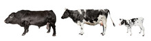 Bull, Cow And Little Cattle Isolated On White.