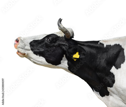 Fotobehang Koe Cow portrait close up isolated on white. Funny cute black and white spotted cow head isolated on white. Farm animals