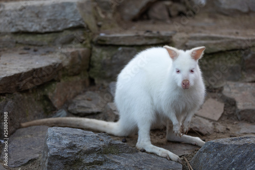 Closeup of a Red-necked Wallaby white albino female, kangaroo (Macropus rufogris Canvas Print
