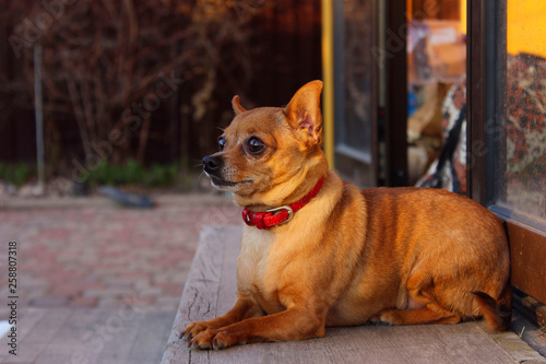 Fotografie, Obraz  Cute Little Dog Lying Outdoors