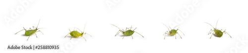Photo green aphid