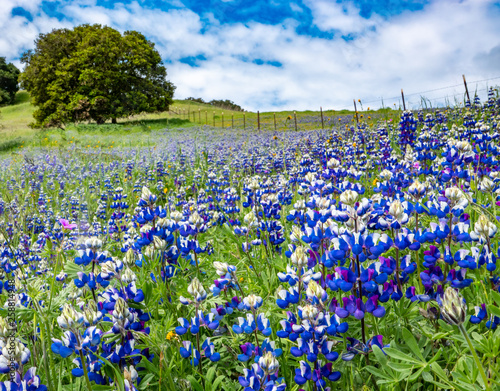 "A super bloom (""superbloom"") of colorful blue and purple Sky Lupine wildflowers (Lupinus nanus) covers the ground in the hills of Monterey, California, with a with Coastal Live Oak tree in background."