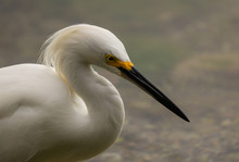 Snowy Egret Wading In Search Of Food