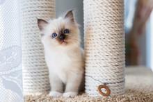 Kitten Cat Breed Sacred Burma On A Light Background