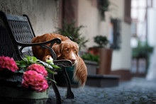 Dog On Lying On A Bench In The City. Nova Scotia Duck Tolling Retriever, Toller. Dog Travel