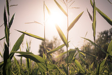 Sun Shining Through Corn Stalks