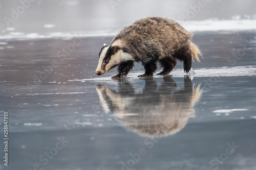 Photo badger running in snow, winter scene with badger in snow