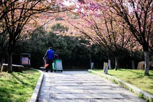 Jiujiang, China - March 31, 2019: The Cherry Garden Of Nanshan Park, A National 4A Scenic Spot, Has Entered The Most Beautiful And Romantic Period Of The Year, With Pink Petals Swaying On The Branches