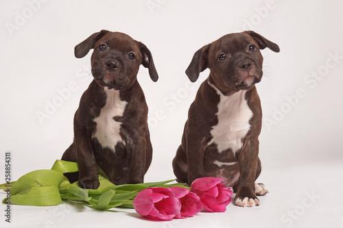 Fotografia two little brown staffordshire bull terriers