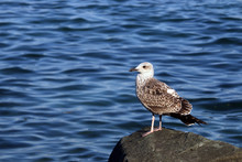 The Seagull Stands On The Rock...