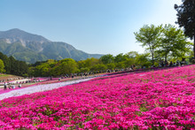 View Of Pink Moss (Shibazakura...