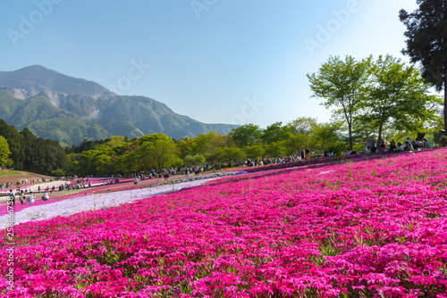 In de dag Roze View of Pink moss (Shibazakura, Phlox subulata) flower at Hitsujiyama Park. The hills are filled with pink, red, blue, white flowers. Shibazakura festival in Chichibu city, Saitama Prefecture, Japan.