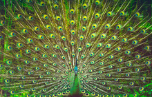Amazing Peacock Tail