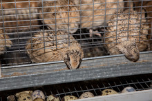 Quail In A Cage, Eats The Food And Lays Eggs