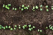 Small Green Radish Seedling In...