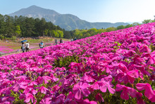 View Of Pink Moss (Shibazakura, Phlox Subulata) Flower At Hitsujiyama Park. The Hills Are Filled With Pink, Red, Blue, White Flowers. Shibazakura Festival In Chichibu City, Saitama Prefecture, Japan.