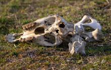 The Bones Of The Animal Lie In...