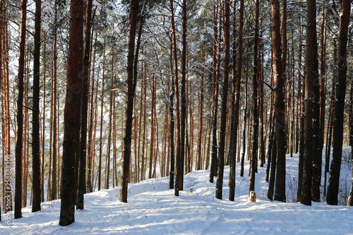 Tuinposter Berkbosje Frosty day in the forest