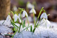 Snowdrops (Galanthus) In The S...